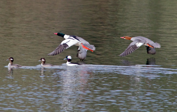 mergansers in flight
