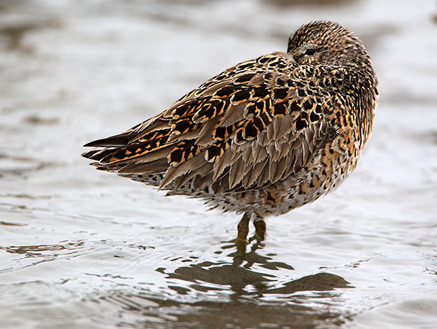 Sleeping Dowitcher