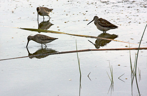 Dowitchers Wading