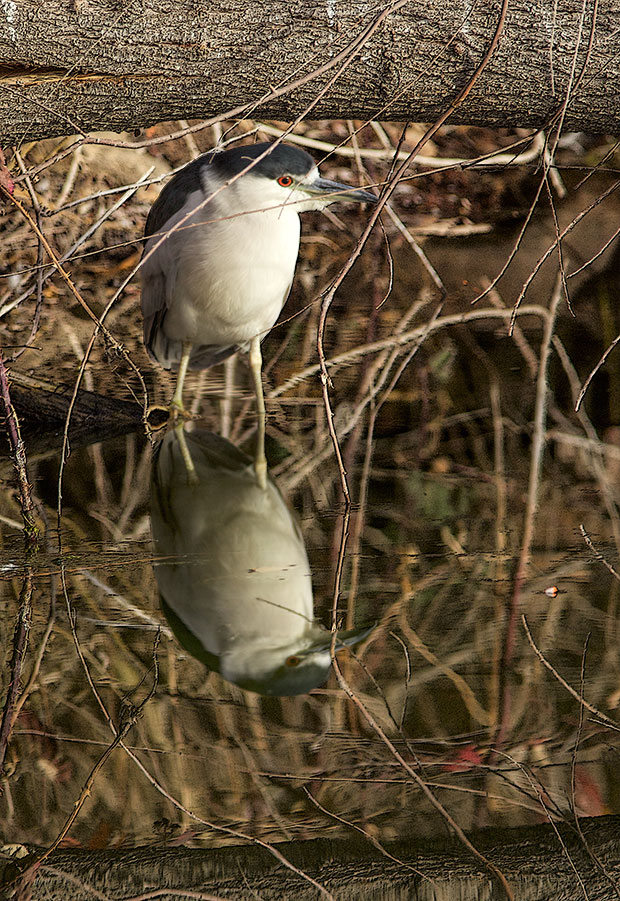 Night Heron wading