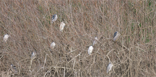 Nigh Herons in Bushes