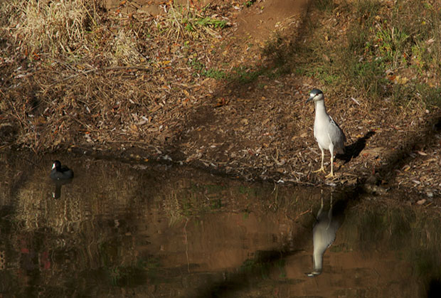 Night Heron on shore