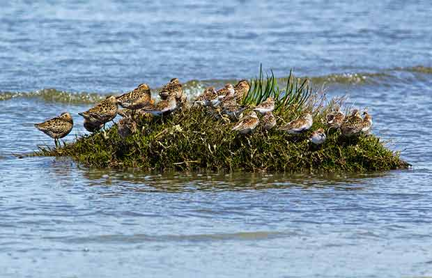 Dunlin and Sandpipers