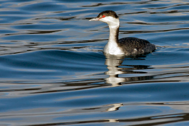 Non-Breeding Horned Grebe