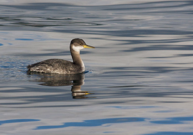 Non-Breeding Red-Necked Grebe