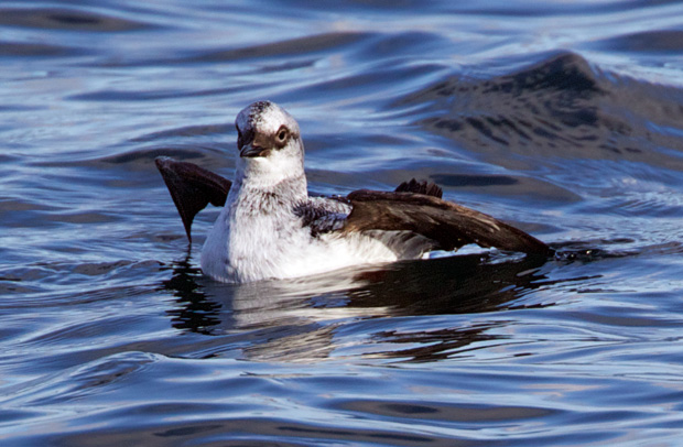 non-breeding Pigeon Guillemot