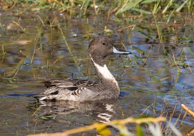 male Northern Pintail duck