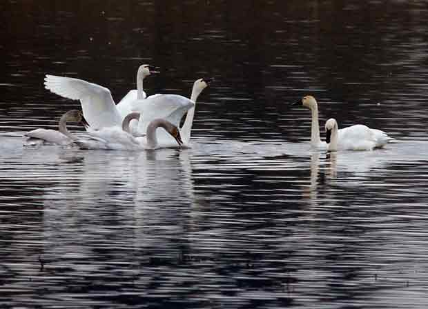 Tundra Swans Honking at Each Other