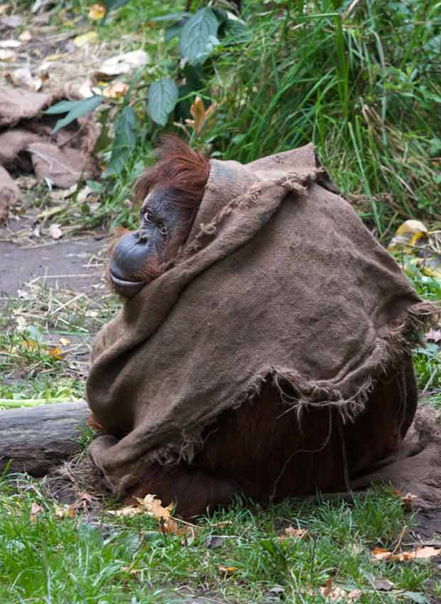 Young Orangutan Covered with  Bag