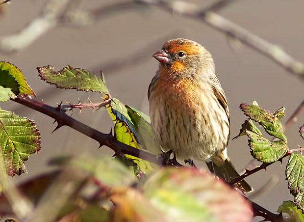 orange colored male House Finch