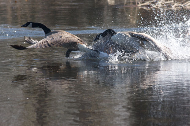 Two Canada Geese Fighting