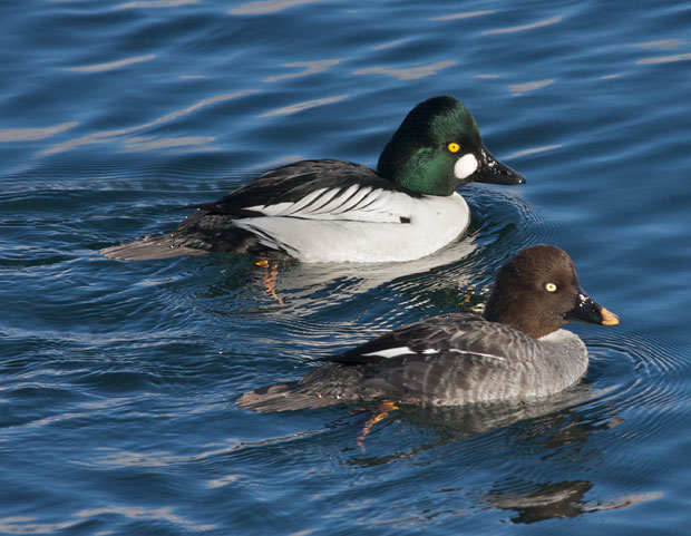 Pair Of Common Goldeneye
