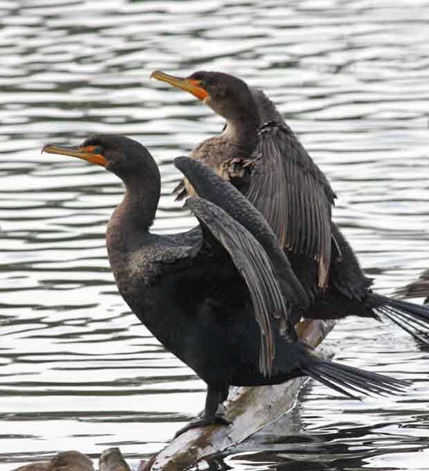Pair of Cormorants Drying Wings