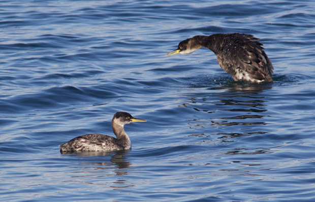 Two Red-Necked Grebes