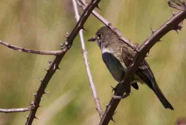 Pacific_Slope Flycatcher
