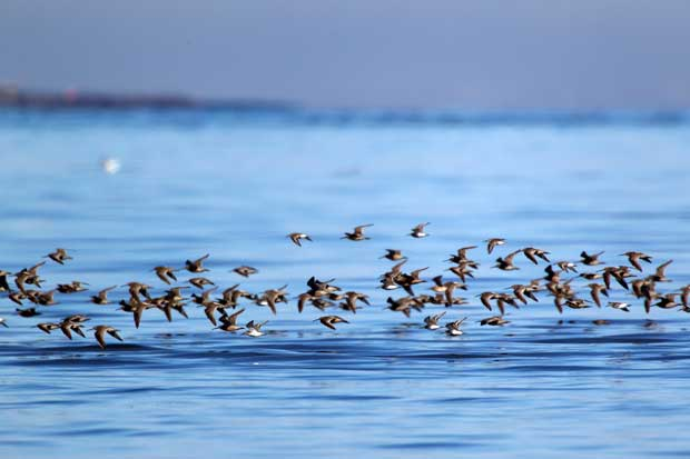 a flock of shorebirds in flight