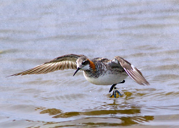 Phalarope Taking Off