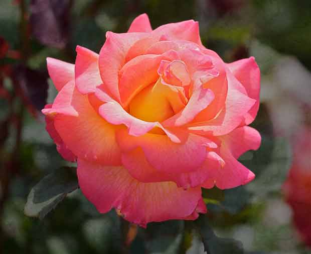 brightly-colored rose