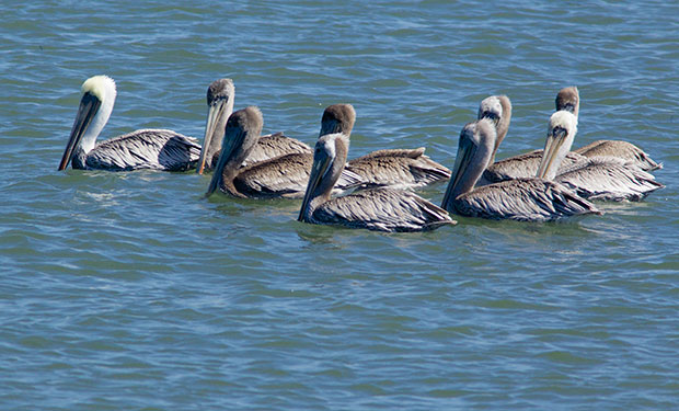 flock of Brown Pelicans floating