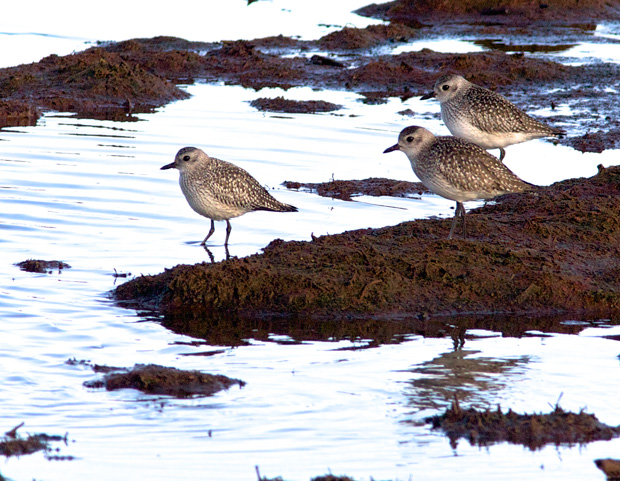 Plovers at Nisqually