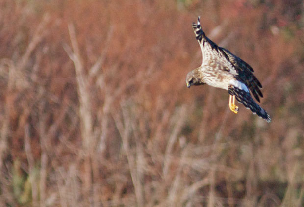 Marsh Hawk Poised to Dive