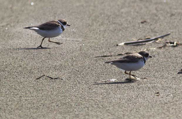 Semipalmated Plovers