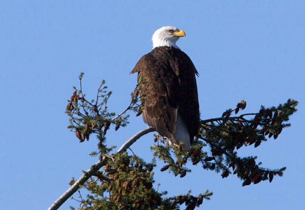 Bald Eagle in Fir