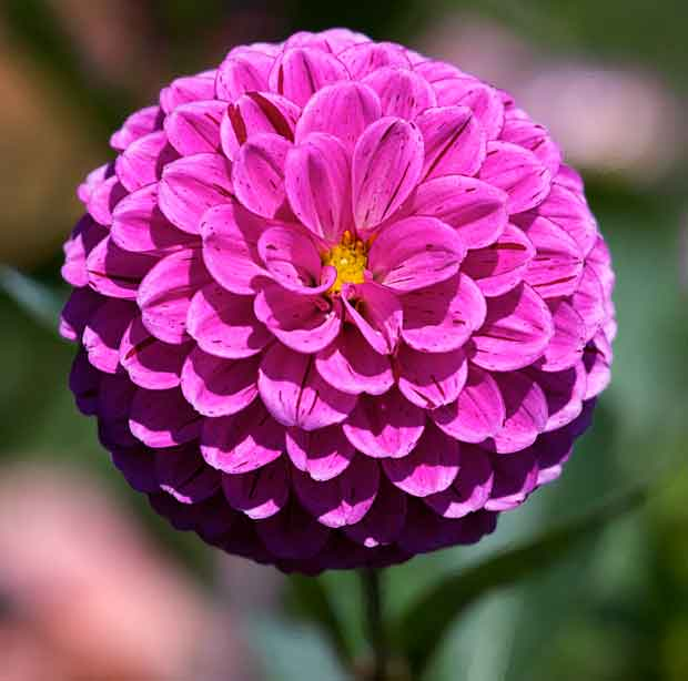 Purple Ball Dahlia
