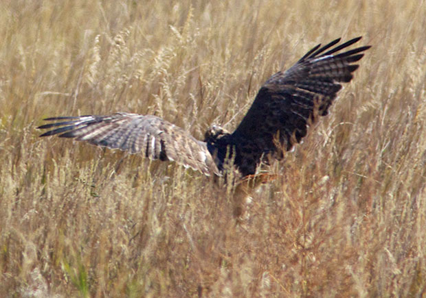 Red-Tailed Hawk in grass