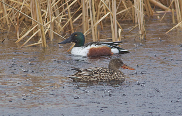 Northern Shovelers in the Rain