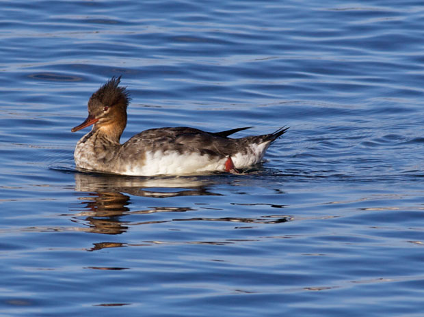 female Red-Breasted Merganser