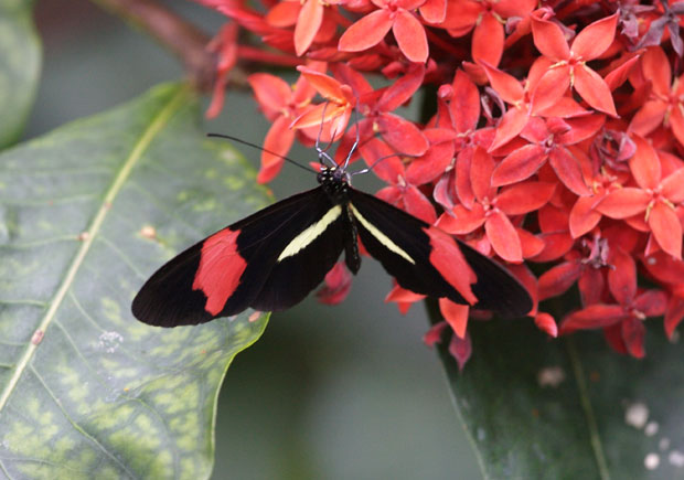 Red and Black Butterfly on Red Flowers