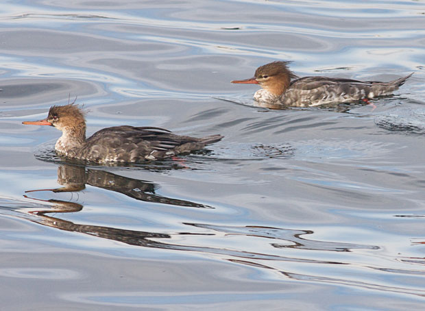 Pair of Red-Breasted Mergansers