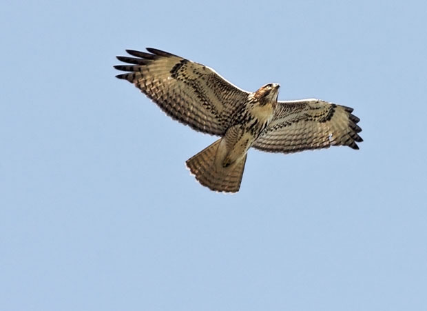 Red-Tailed Hawk Overhead