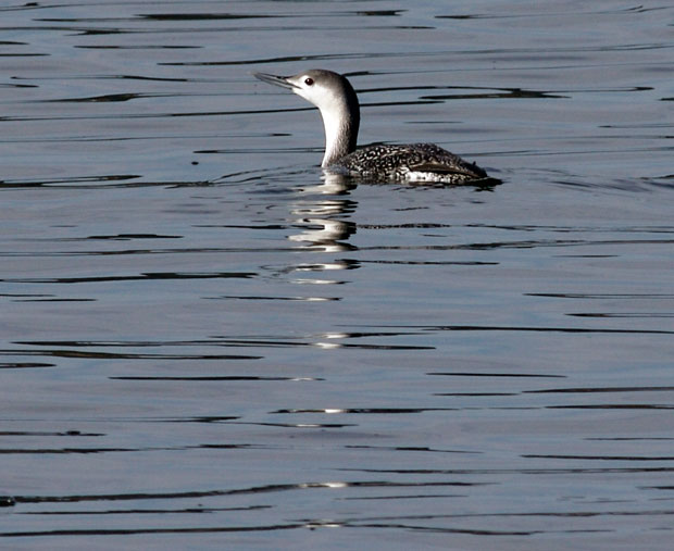 non-breeding Red-Necked Loon