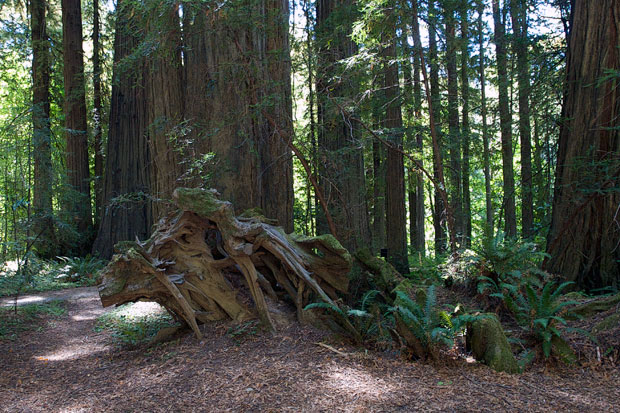 Roots of Fallen Redwood with Ferns Growing