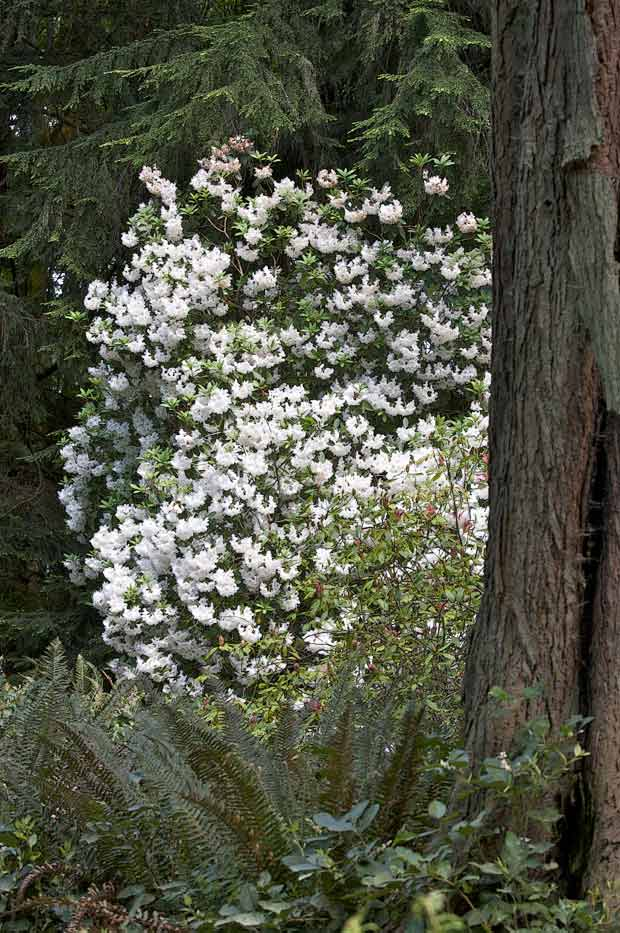 White Rhododendron in Forest