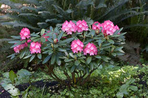 Small Rhododendron plant