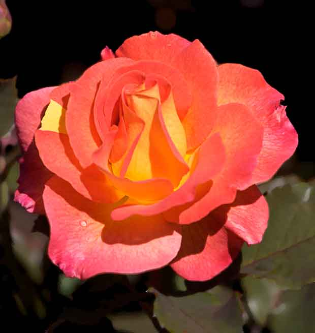 Red and Orange Rose