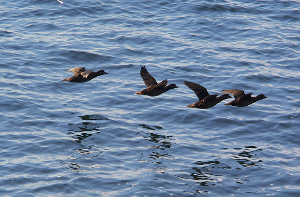 female Harlequin ducks