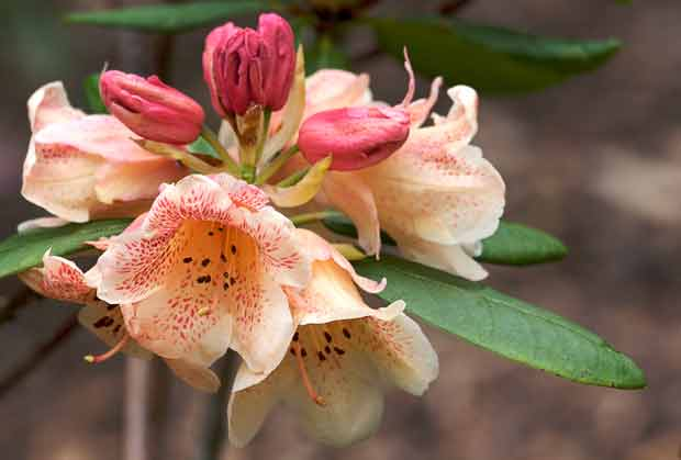 Salmon-colored Rhododendron