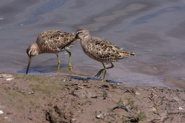 Small Shorebirds