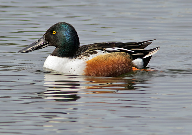 Northern Shoveler male