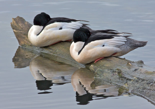 Two Common Mergansers
