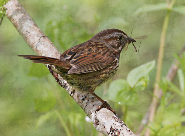Song Sparrow with Bug in Beak