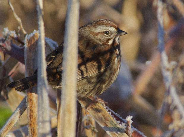 Song Sparrow in Frosted Weeds