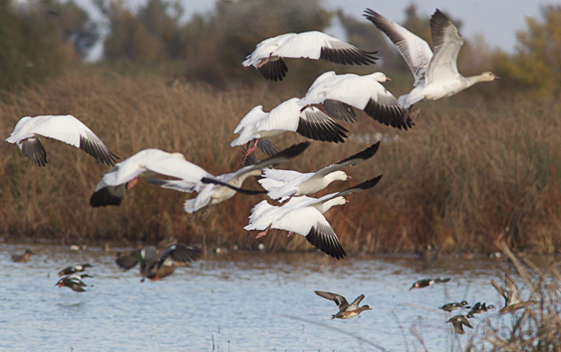 Flock of Snow Geese taking off