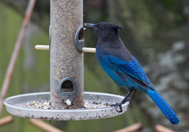 Stellar Jay At Feeder