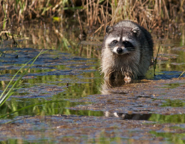 Raccoon Wading in Wetlands
