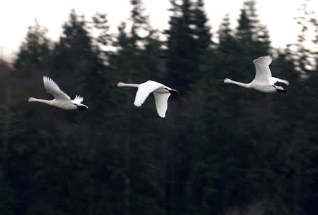 Tundra Swan Flying Above